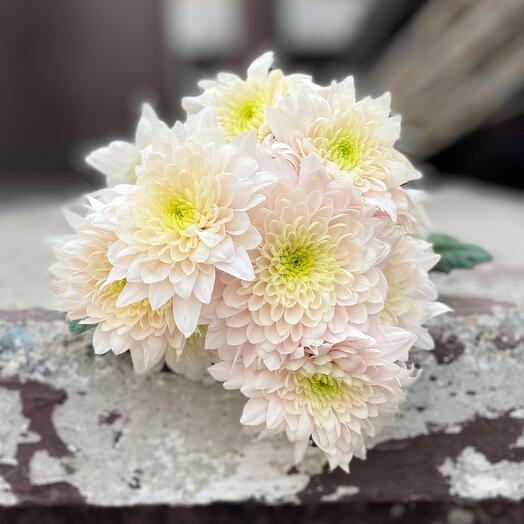 Хризантема кустовая нежно-розовая