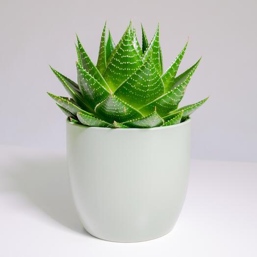 """Растение """"Алоэ Космо"""" пересаженное в Фисташковый горшок"""