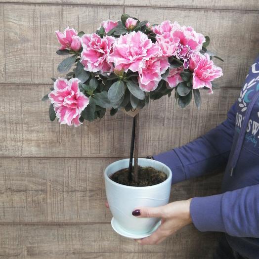 Крупноцветковая азалия на стволе в керамическом горшке: букеты цветов на заказ Flowwow