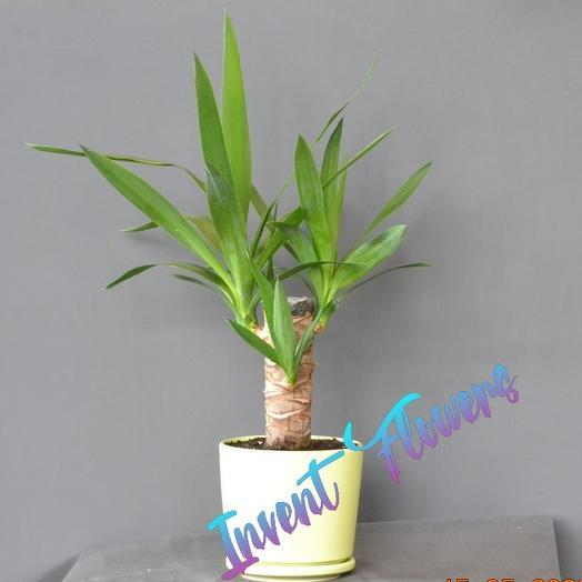 Юкка в керамическом горшке: букеты цветов на заказ Flowwow