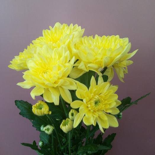 Хризантема Кустовая Пина Колада желтая