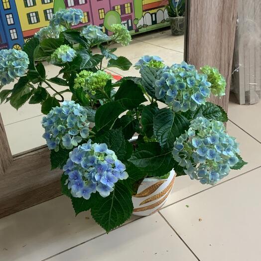 Комнатное растение Гортензия в кашпо