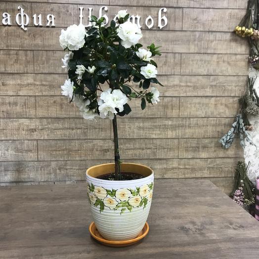 Азалия штамбовая: букеты цветов на заказ Flowwow