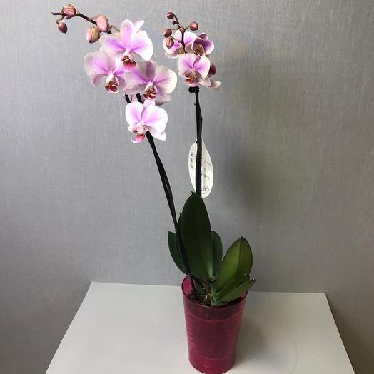 Фоленопсис в горшке: букеты цветов на заказ Flowwow