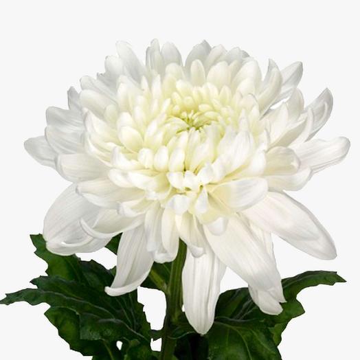 Хризантема сорта Магнум