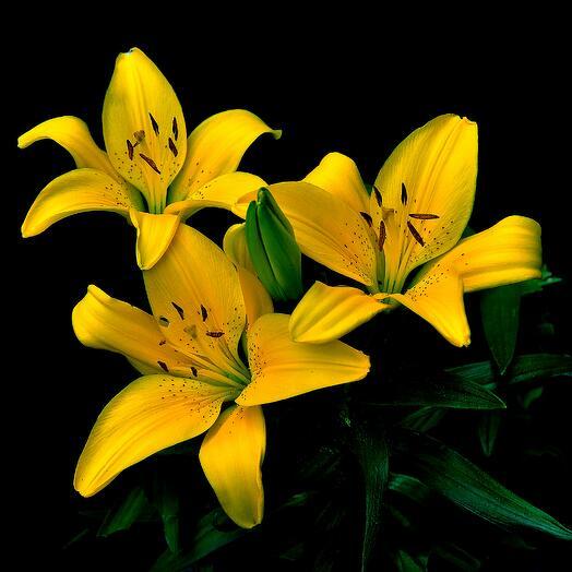 ✅ Лилия желтая ветка (кол-во любое)