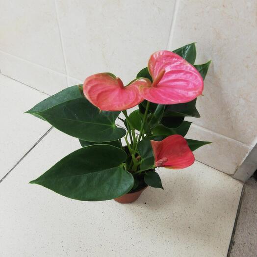 Антуриум розовый фламинго