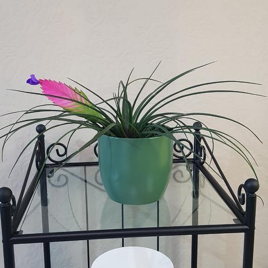 Тилландсия синяя: букеты цветов на заказ Flowwow