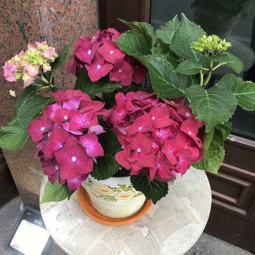 Шикарная гортензия в керамическом горшке: букеты цветов на заказ Flowwow