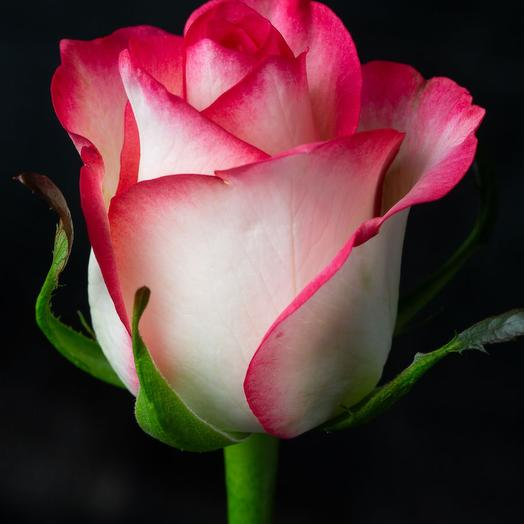 Роза Джамиля