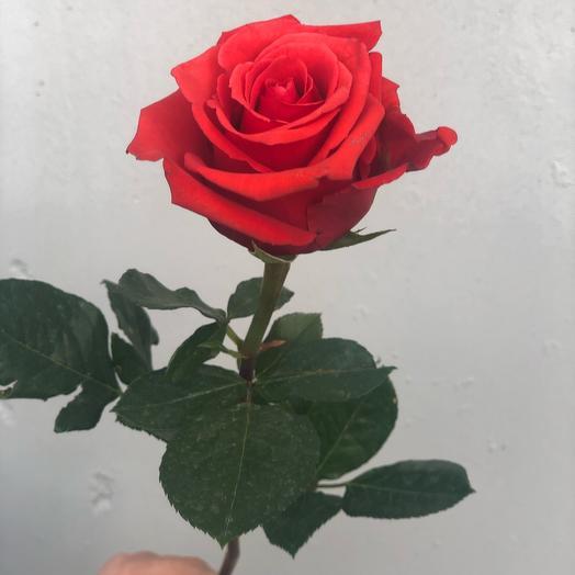 Ярко-красная роза 70 см (Эквадор)