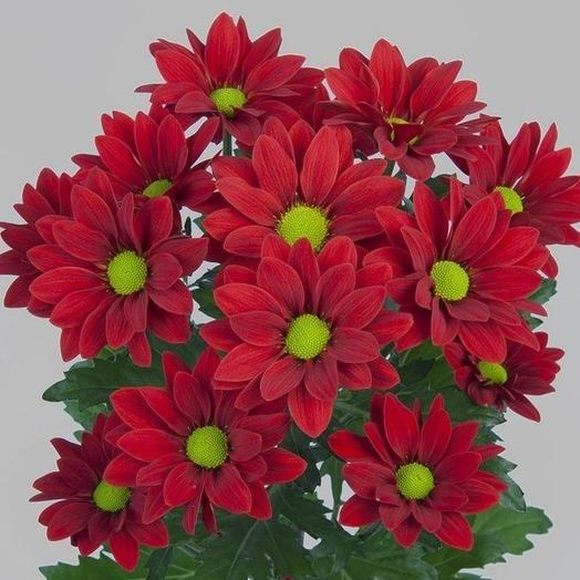Хризантема Бакарди красная