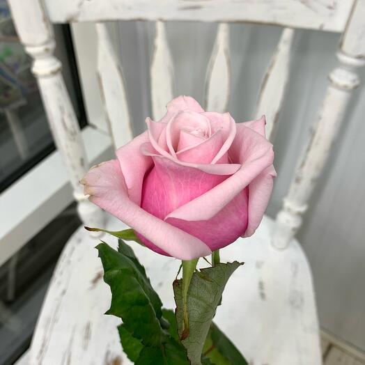 Роза Lady