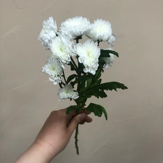Хризантема спрей