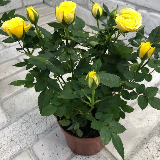 Роза монде