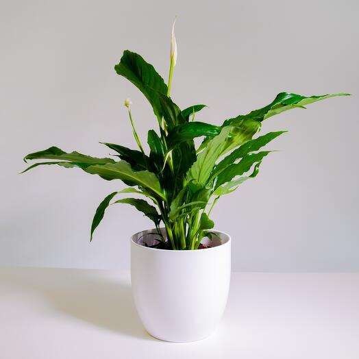 """Растение """"Спатифиллум Свит Чико"""" пересаженное в Белый овал горшок"""