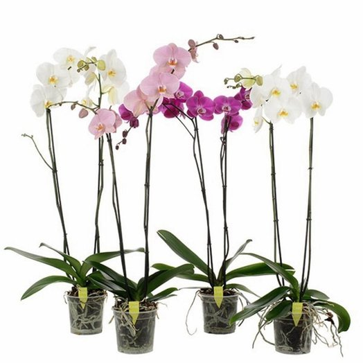орхидея фалинопсис в горшке