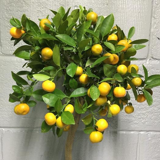 Цитрофортунела: букеты цветов на заказ Flowwow