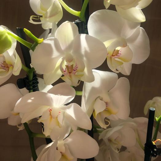 Фаленопсис 4 стебля: букеты цветов на заказ Flowwow