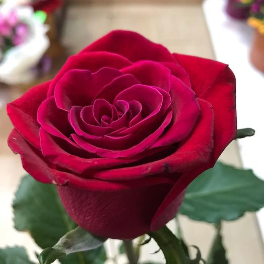 Роза Голландия (80см)