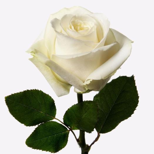 Роза подмосковная белая, 50 см