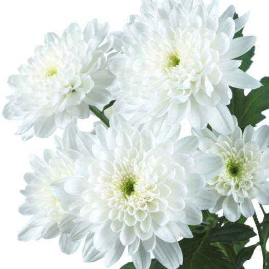 Белая кустовая хризантема