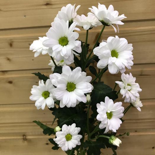 Хризантема кустовая «Бакарди Вайт» 65см