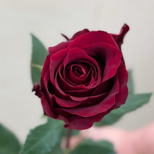 Роза 100см «Экспловер»