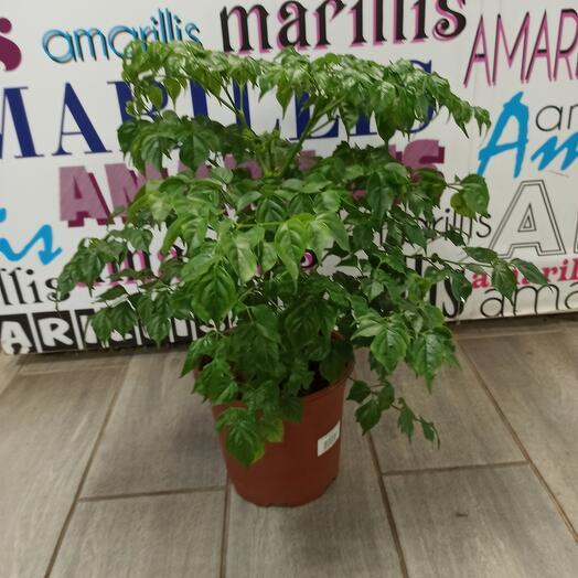 Комнатное растение радермахера