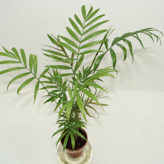 Тропики лесные Пальма хамедорея: букеты цветов на заказ Flowwow