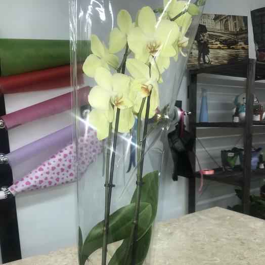 Орхидея фаленопсис двуствольная ❣️: букеты цветов на заказ Flowwow