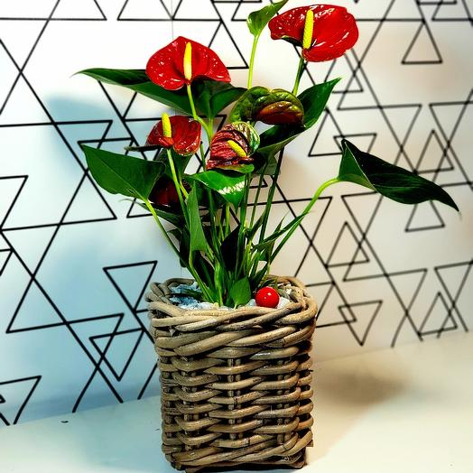 Антуриум миди: букеты цветов на заказ Flowwow