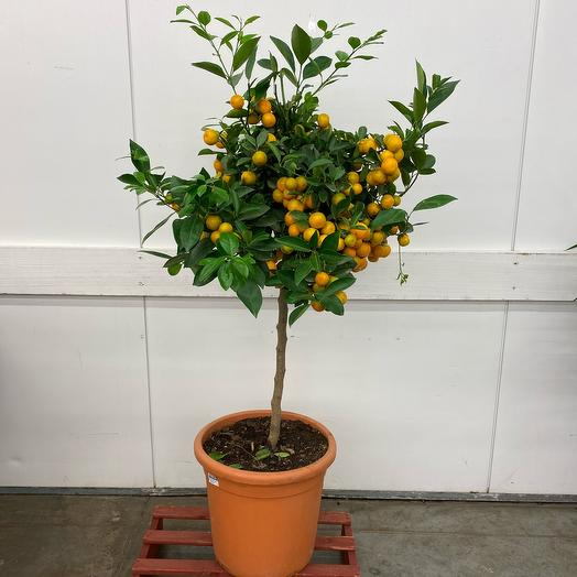 Цитрофортунелла (мандарин) штамбовая