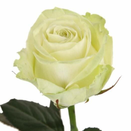 Роза Эвеланш (Avalanche) 60см