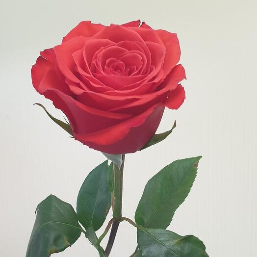 Роза Nina Эквадор 60 см