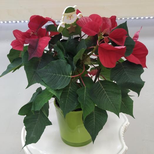 "Пуансетия - ""Рождественская звезда"": букеты цветов на заказ Flowwow"