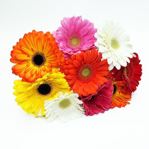 Гербера разноцветная