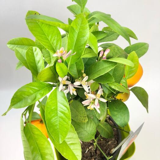 Мандарин цветущий в зелёном кашпо