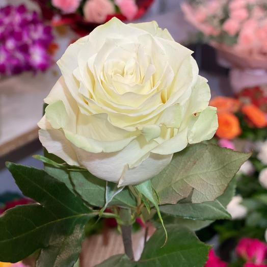 Эквадорская белая роза крупная 70см