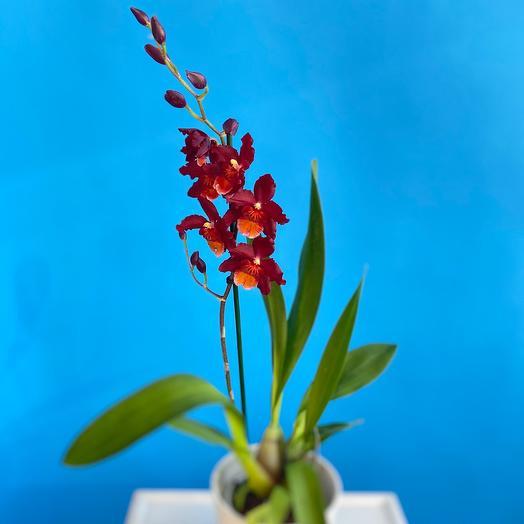 Орхидея Мильтонидиум Бартлей