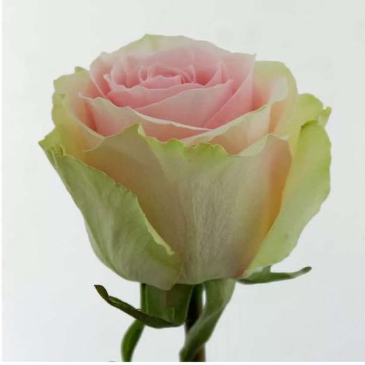 Голландская роза Frutettо