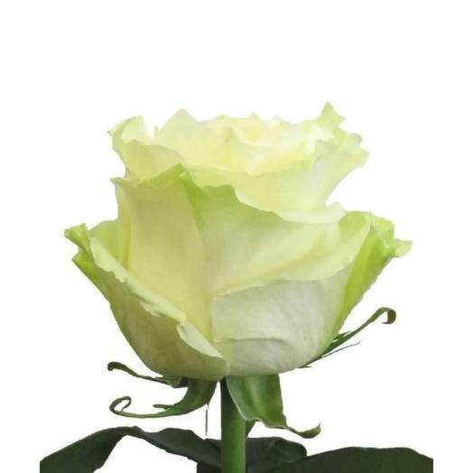 Роза Мондиаль Эквадор 70 см