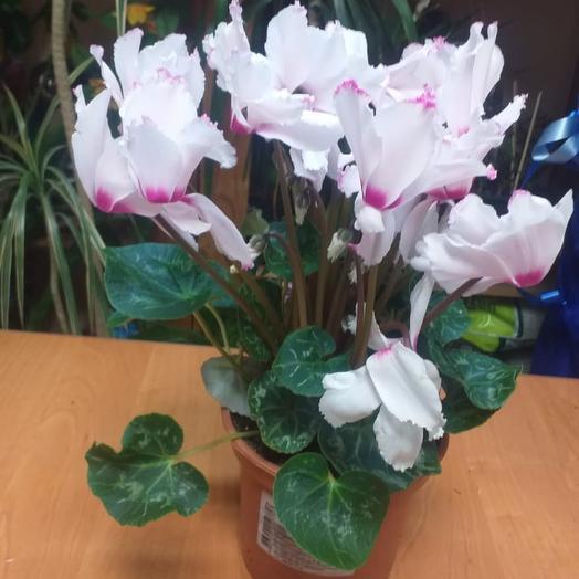 Комнатное растение цикламен