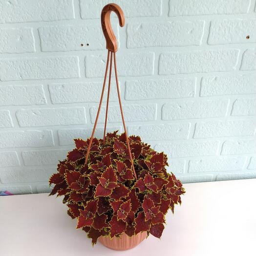 Комнатное растение  Колеус