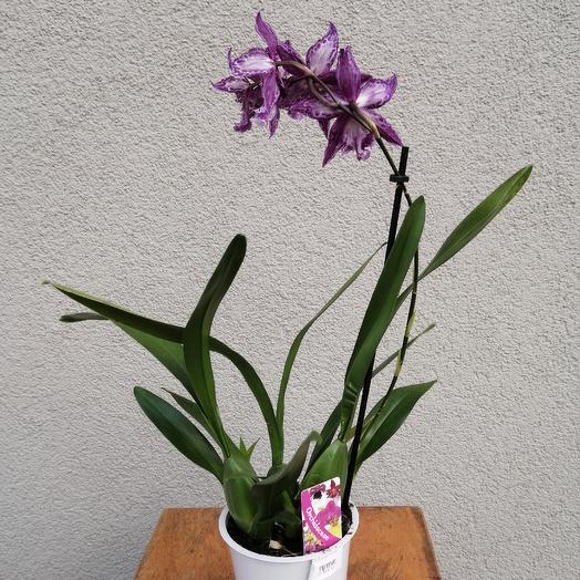 Orchid Cumbria