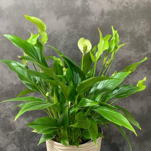 Спатифилум комнатное растение