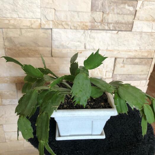 Замиокулькас персиковый