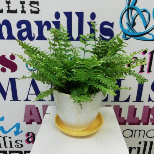 Комнатное растение Нефролепис