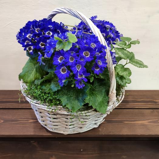 Корзина CINERARIA: букеты цветов на заказ Flowwow