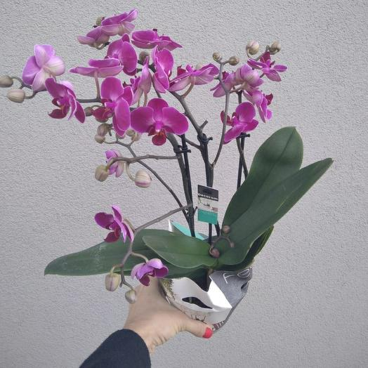 Phalaenopsis Orchid 3 pages